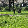 Photos: さくらon桜
