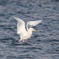 Photos: White gull wing
