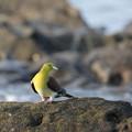 Photos: 緑鳩