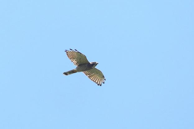 Photos: 透過する鷹斑