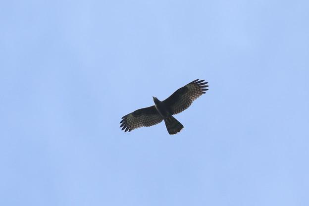 Photos: 暗色型幼鳥