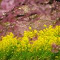 日暮れの菜の花