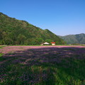 写真: レンゲ畑