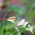 写真: 赤いイトトンボ