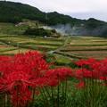 Photos: ヒガンバナの咲く棚田