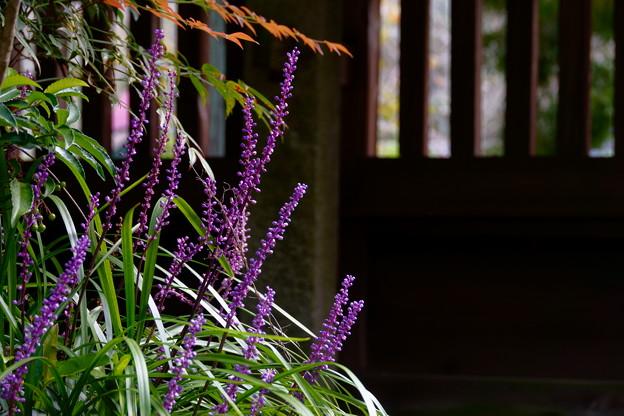 写真: 庭のヤブラン