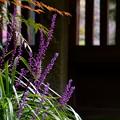 Photos: 庭のヤブラン