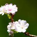 写真: 農道の十月桜
