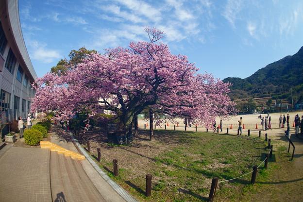 満開の蓬莱桜