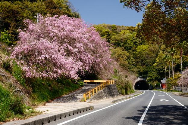国道脇の枝垂桜