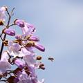 桐の花を物色するミツバチ