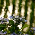 田んぼの紫陽花