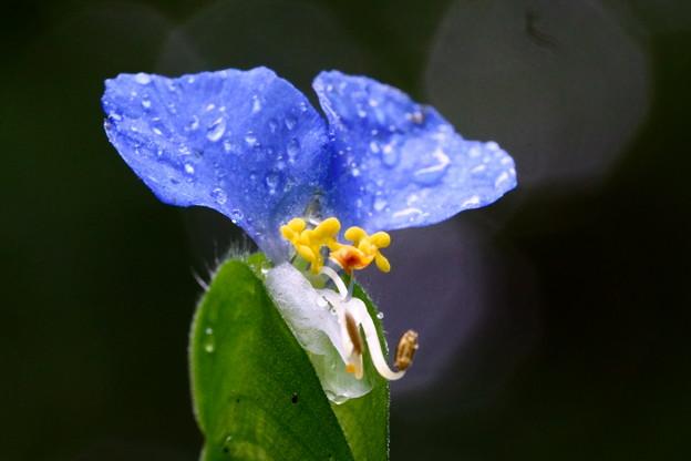 梅雨のツユクサ