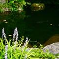池の畔のヤブラン