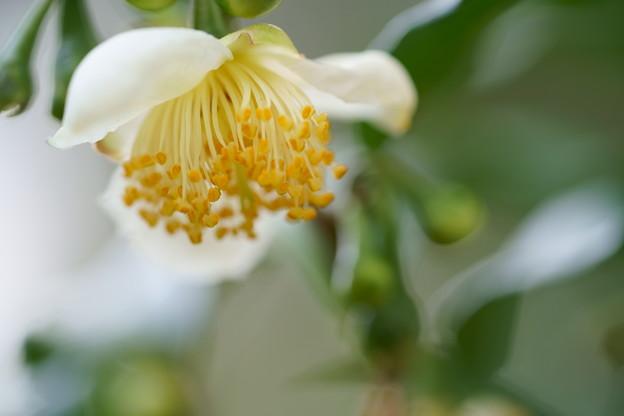 小さな白いサザンカ?椿?-->お茶の花