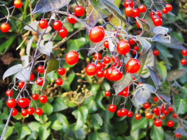 赤い実がいっぱい!