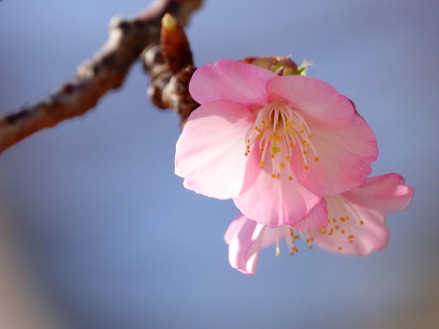 さくら咲く (=^^=)v