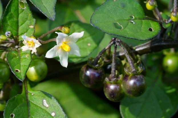 Photos: 花も実も有るヤマホロシ ではなく、イヌホウズキ