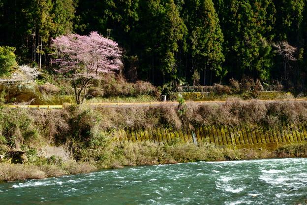 河山の一本桜