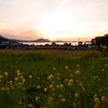 Photos: 夕暮れ菜の花