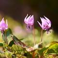 春の妖精 三姉妹