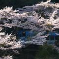 Photos: せせらぎ号 桜花をぬって