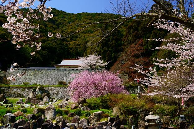 帯石観音 桜の頃