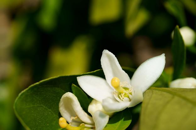 ミカンの花