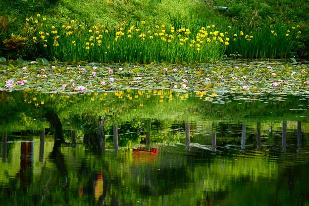 黄菖蒲の池 1