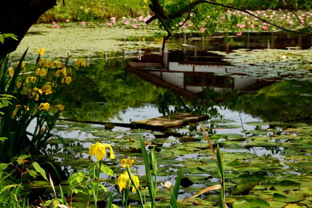 黄菖蒲の池 2