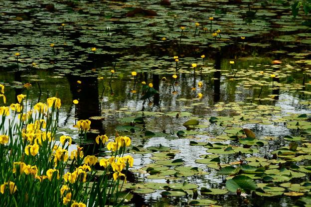 黄菖蒲の池 3