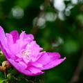 Photos: 道端に咲くピンクの花