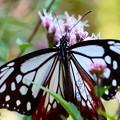 マーキング蝶