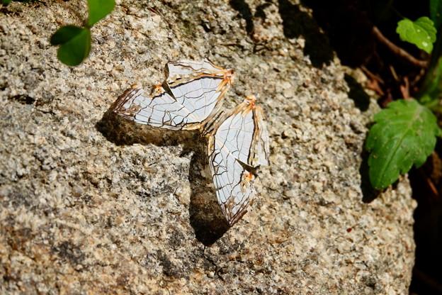 石垣の石垣蝶