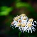 Photos: ぼろい菊