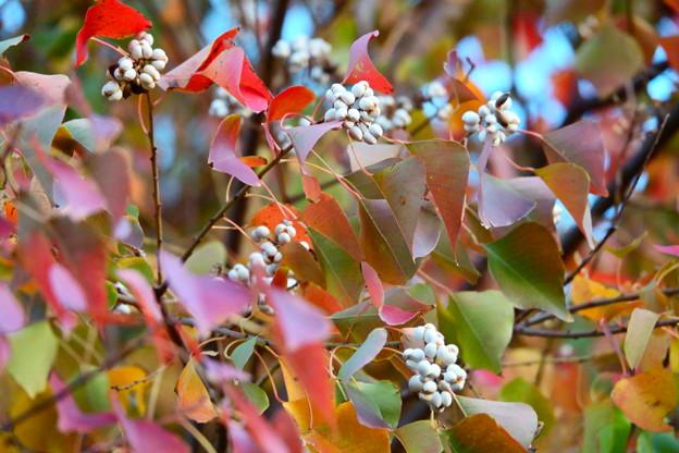 Photos: 白い実がいっぱい