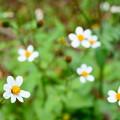 引っ付き虫の花