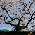 写真: 醍醐寺の桜