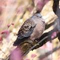 Photos: 花見するハト
