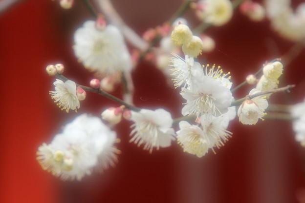 Photos: 北野天満宮の梅
