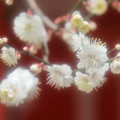 ????: 北野天満宮の梅
