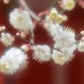 写真: 北野天満宮の梅