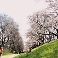 背割堤(せわりてい)の桜