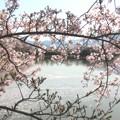 桜越しの池