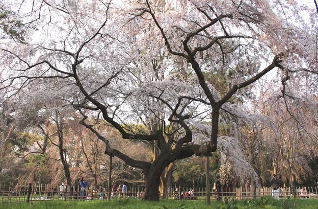 御所のしだれ桜