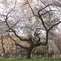 Photos: 御所のしだれ桜