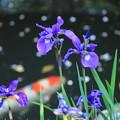 Photos: 鯉花.JPG