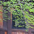 知恩院の新緑