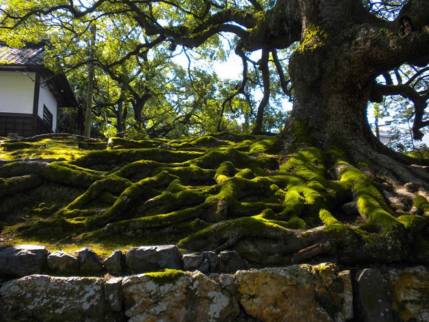 青蓮院の楠