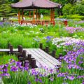 Photos: 城北菖蒲園